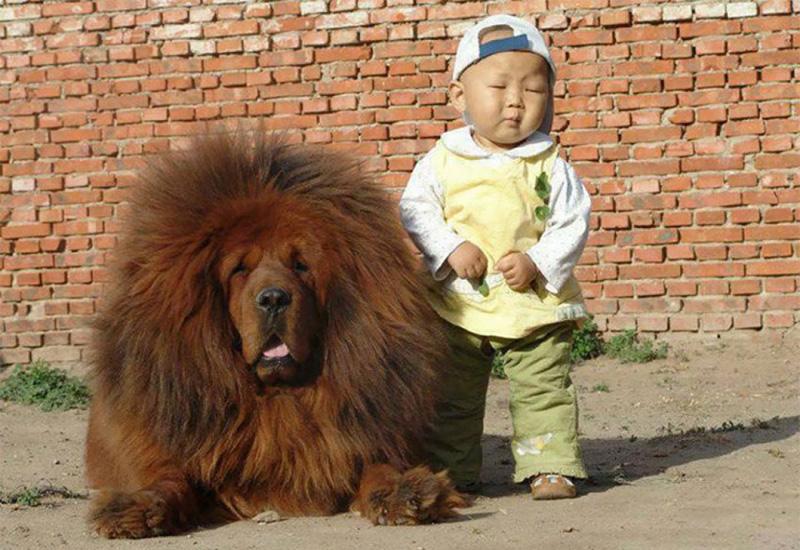 """Auf den Hund gekommen – """"Dazhewang"""" (Tibetanischer Mastiff)"""
